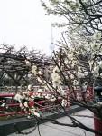 東京もようやく、ほころぶ。「亀戸天神社」と「梅」