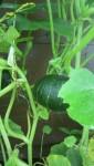 家庭菜園・カボチャの空中栽培
