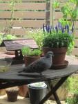 我が家北側バルコニーに遊びに来る鳩