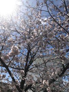 ~桜開花の大江川~