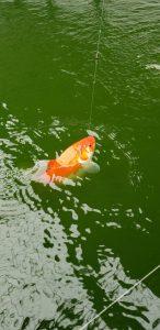 あの金魚が釣れる!?おかべ農園