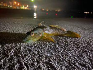 松山店★口の青い魚。