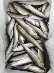 滋賀県の小鮎釣りの釣果情報!