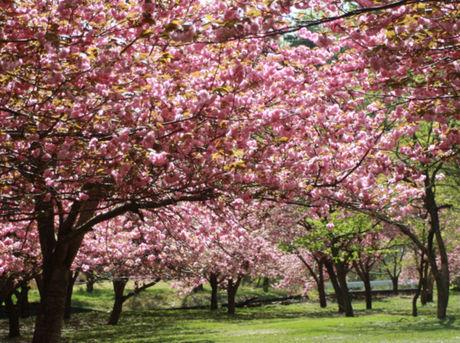 マキノ高原キャンプ場の満開の桜の写真