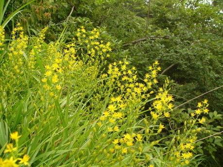 マキノ高原キャンプ場に咲いている花の写真