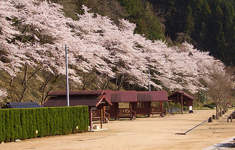 湯の瀬温泉郷キャンプ場の満開の桜の写真
