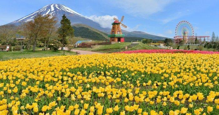 チューリップがたくさん咲いている写真