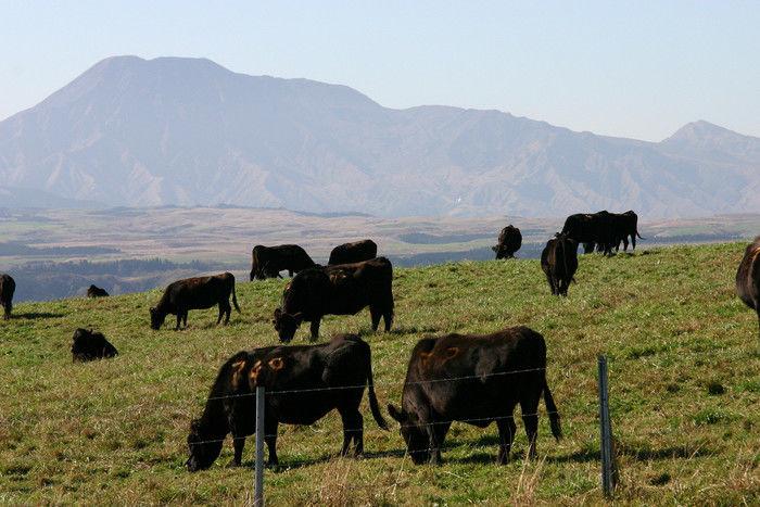 草原に牛がたくさんいる牧場の写真