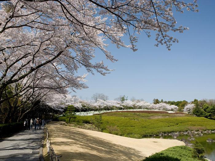 昭和の森バーベキュー場の桜が咲いた通路の写真