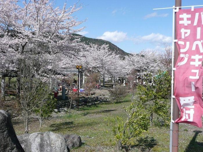 フレンドパークむかわの桜の様子