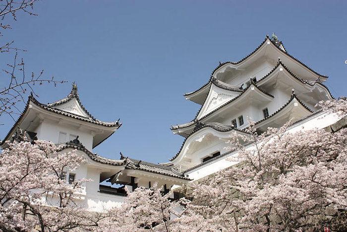 伊賀上野城と桜の写真