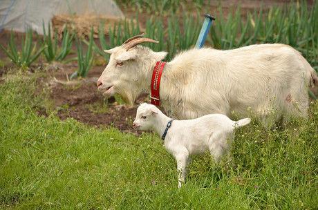 ヤギの親子の写真