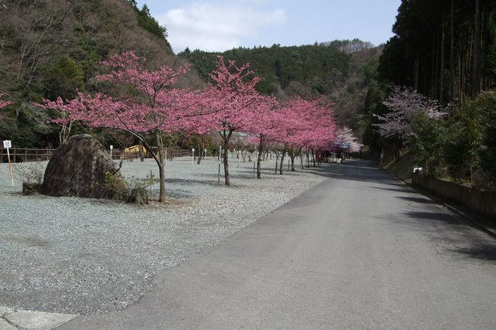 神之川キャンプ場の桜並木の写真