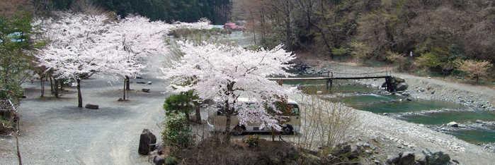 神之川キャンプ場の場内に立っている桜の木と流れている川の写真