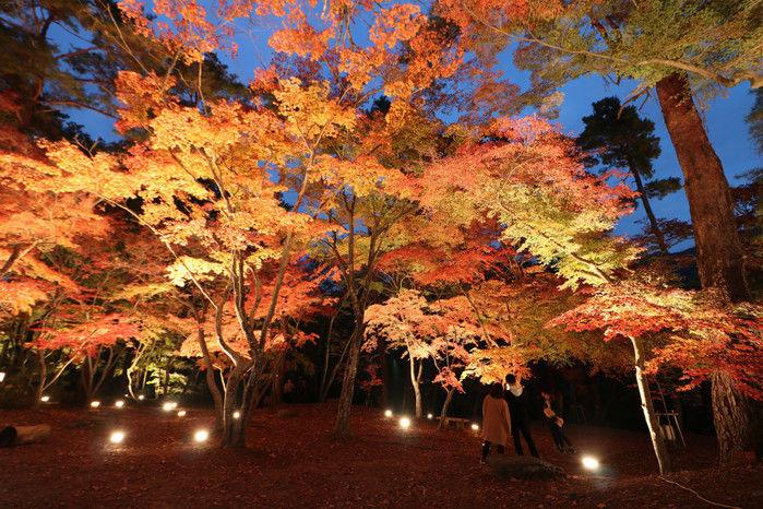 ライトアップされている紅葉の様子