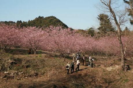オートキャンプフルーツ村の桜の写真