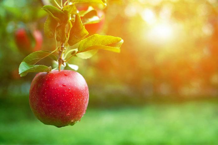 日が当たったりんごの写真