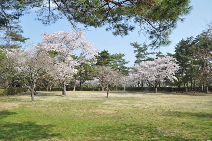 福岡ローマン渓谷オートキャンプ場の桜