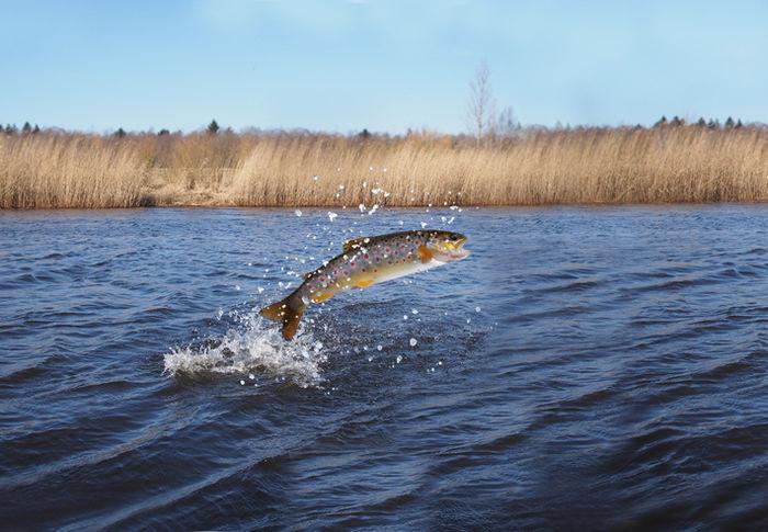 跳ねている鮭の写真