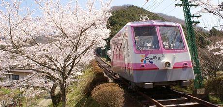 ケーブルカーと桜