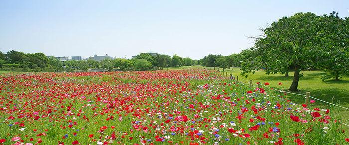 葛西臨海公園の花畑