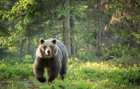 森の中を走る熊