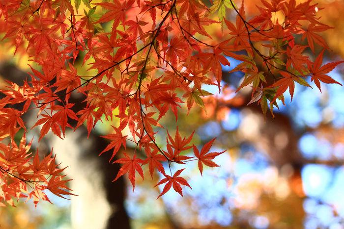 紅葉している紅葉の写真