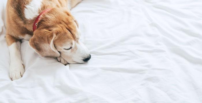 ベットで寝ている犬