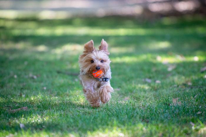 ドッグランを走っている小型犬の写真