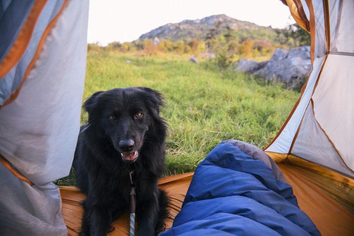 テントをのぞいている犬の写真