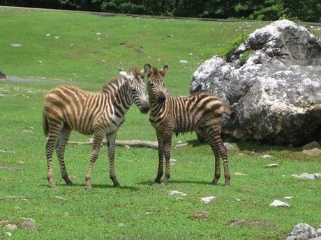 秋吉自然動物公園サファリランドのシマウマ