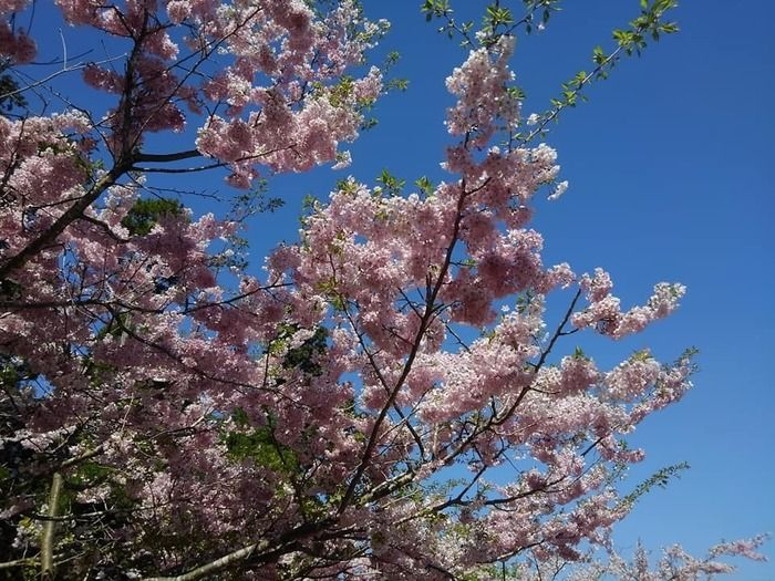 ピクニカ共和国の桜の写真
