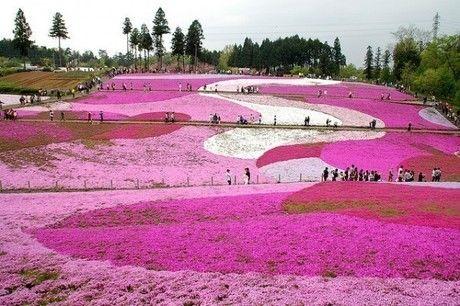 芝桜の丘の様子