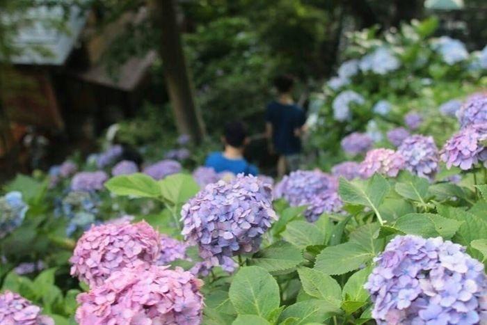 一面に広がる満開の紫陽花