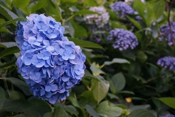 紫陽花散策路の紫陽花