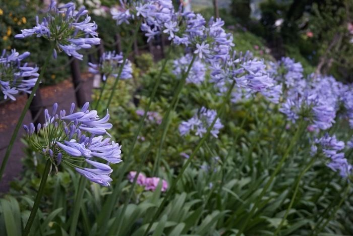 紫陽花散策路の変わった紫陽花