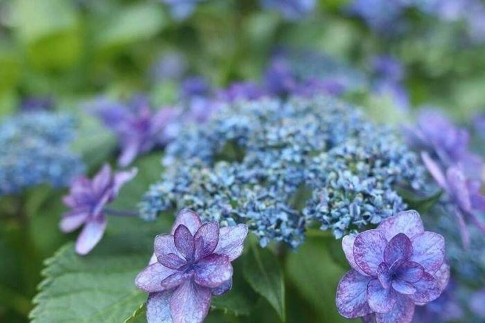 花が開き始めている青紫のあじさい