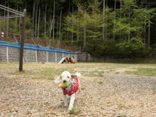 ドッグフリーサイトを歩く犬