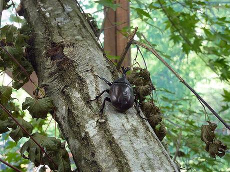 小林ブルーベリー観光農園のカブトムシ