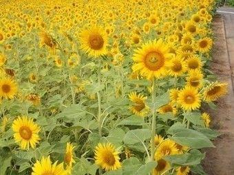 ひまわり畑-こうちゃんちの野菜in世田谷区のひまわり畑
