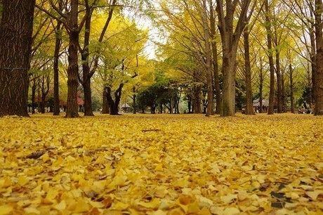 紅葉したイチョウの絨毯