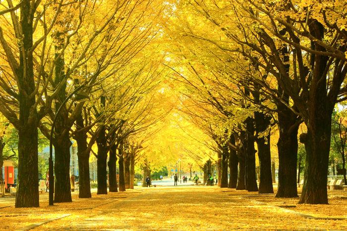 光が丘公園の銀杏並木の黄色の絨毯