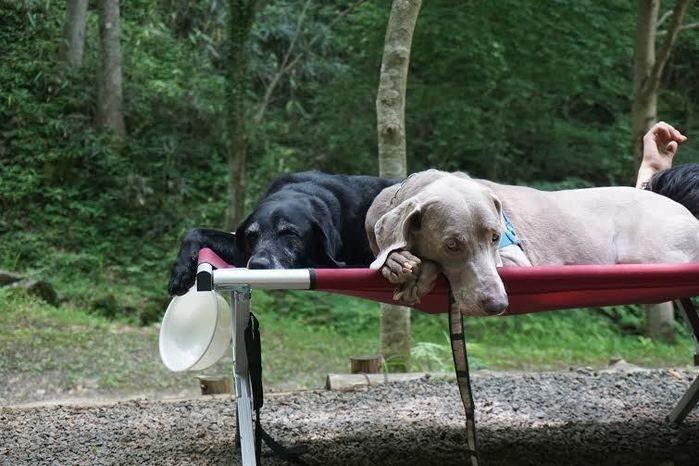 コットの上で寝る犬