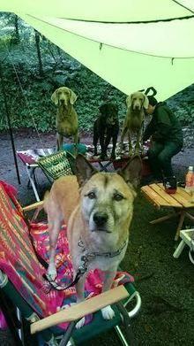 タープの下で椅子の上に立つ犬達
