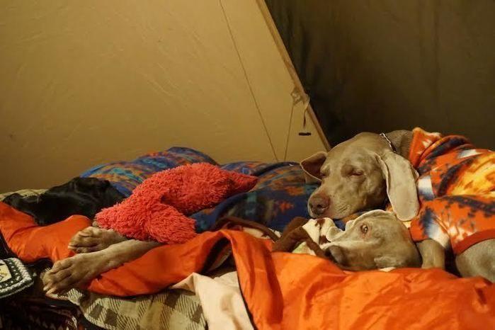 テントで寝る犬