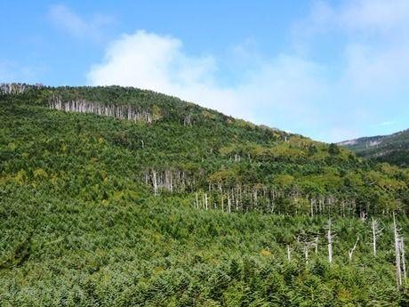 縞枯山の木々