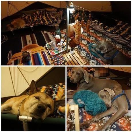 テントの中に敷き詰められたブランケットやクッションでくつろぐ犬たち