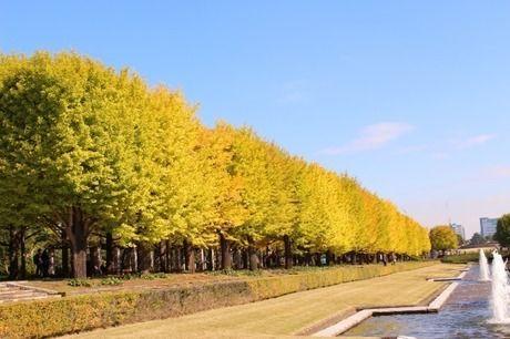 国営昭和記念公園の黄葉・紅葉