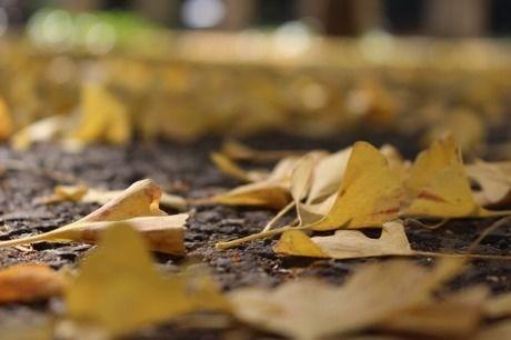 いちょうの落ち葉
