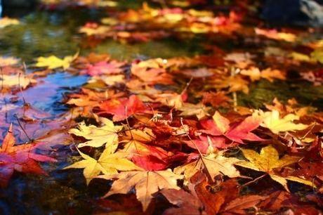 池に落ちる紅葉の葉